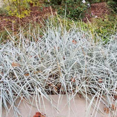 Blue Dune Lyme Grass Garden Plant