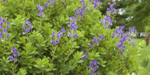Blue False Indigo Garden Plant
