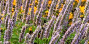 Blue Fortune Hyssop Garden Plant
