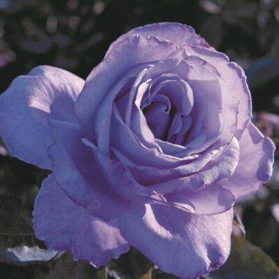 Blue Girl Hybrid Tea Rose Garden Plant