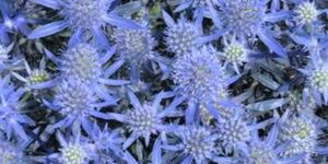 Blue Glitter Sea Holly Garden Plant