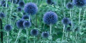 Blue Glow Globe Thistle Garden Plant