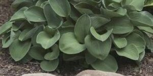 Blue Mouse Ears Hosta Garden Plant