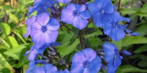 Blue Paradise Phlox Garden Plant