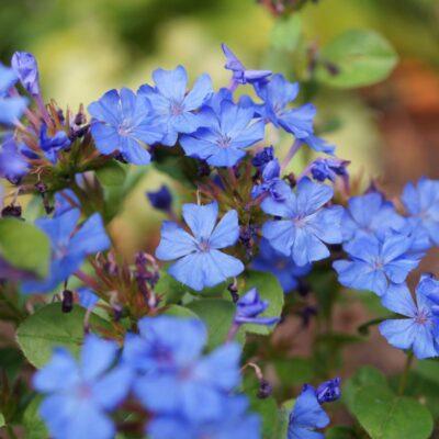Blue Plumbago Plant Garden Plant