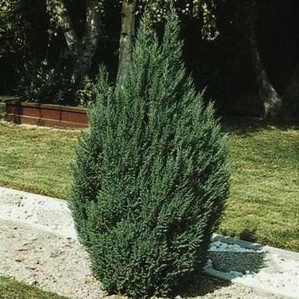 Blue Point Juniper Garden Plant