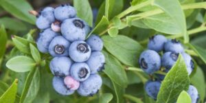 Bluejay Blueberry Garden Plant