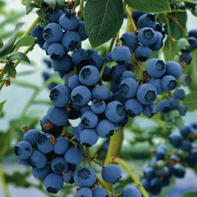 Blueray Blueberry Garden Plant