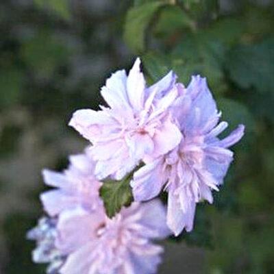 Blushing Bride Rose of Sharon Garden Plant