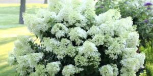 Bobo Hydrangea Garden Plant