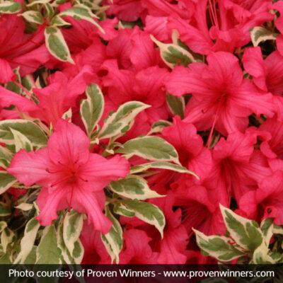 Bollywood Azalea Garden Plant