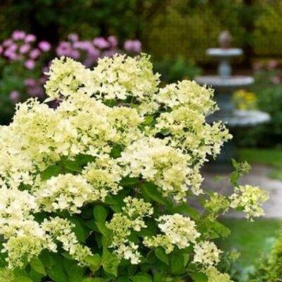 Bombshell Hydrangea Garden Plant