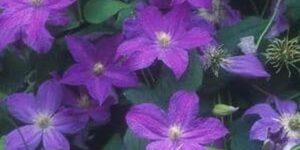 Bonanza Clematis Garden Plant