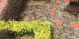 Bonanza Gold Barberry Garden Plant
