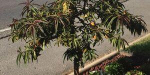 Bonfire Peach Tree Garden Plant