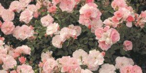 Bonica Rose Garden Plant