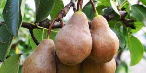 Bosc Pear Garden Plant
