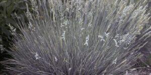 Boulder Blue Fescue Grass Garden Plant