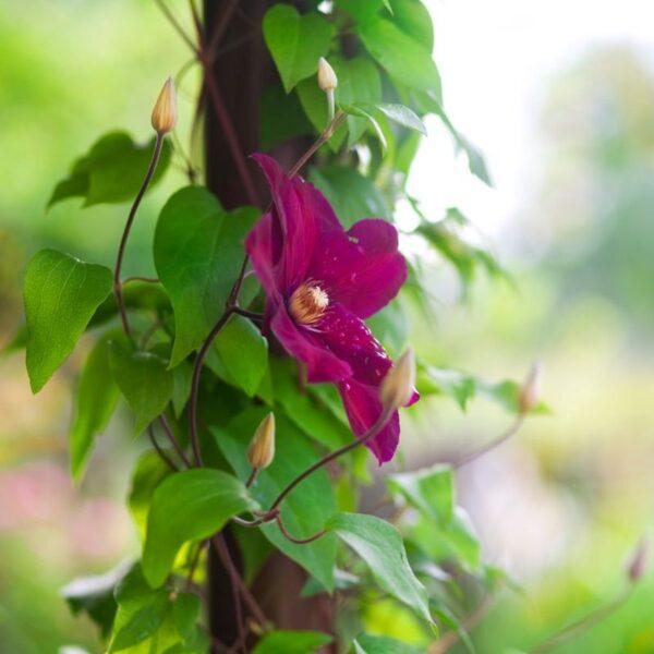 Bourbon Clematis Garden Plant