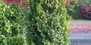 Boxwood Fastigata Garden Plant