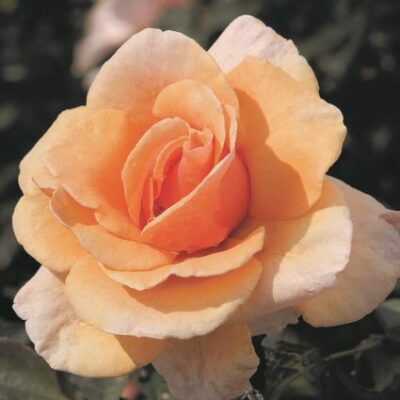 Brandy Hybrid Tea Rose Garden Plant