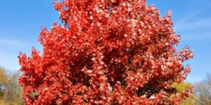 Brandywine Maple Tree Garden Plant
