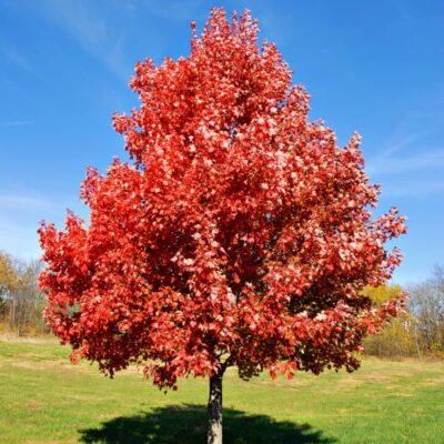 Brandywine Maple Tree Garden Plant