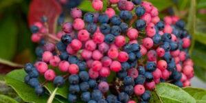 Brandywine Viburnum Garden Plant