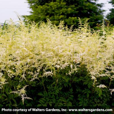 Bridal Veil Astilbe Garden Plant