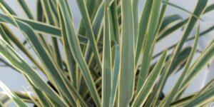 Bright Edge Yucca Garden Plant
