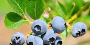 Brightwell Blueberry Garden Plant