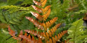Brilliance Autumn Fern Garden Plant