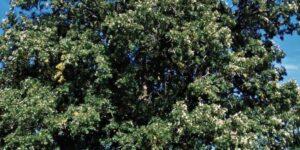 Bur Oak Tree Garden Plant