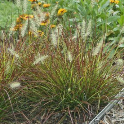 Burgundy Bunny Grass Garden Plant