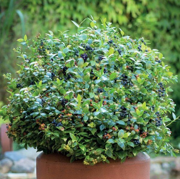 Bushel and Berry Blueberry Glaze Blueberry Garden Plant