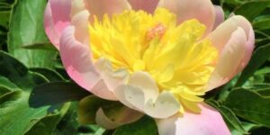Butter Bowl Peony Garden Plant