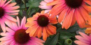 Butterfly Rainbow Marcella Coneflower Garden Plant