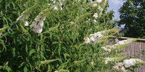 Buzz Ivory Butterfly Bush Garden Plant
