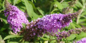 Buzz Lavender Butterfly Bush Garden Plant