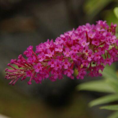 Buzz Magenta Butterfly Bush Garden Plant