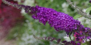 Buzz Purple Butterfly Bush Garden Plant