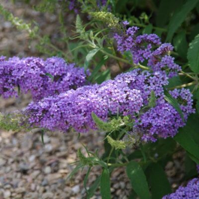 Buzz Sky Blue Butterfly Bush Garden Plant