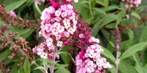 BUZZ Soft Pink Butterfly Bush Garden Plant