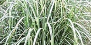 Cabaret Maiden Grass Garden Plant