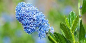 California Lilac Garden Plant