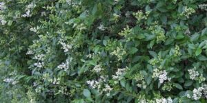 California Privet Hedge Garden Plant