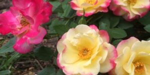 Campfire Rose Garden Plant