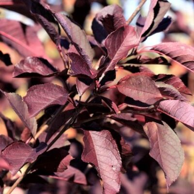 Canada Red Select Cherry Tree Garden Plant