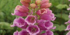 Candy Mountain Foxglove Garden Plant