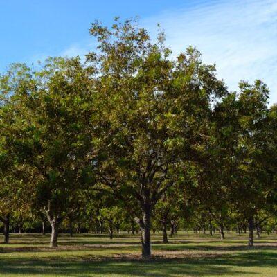 Candy Pecan Tree Garden Plant